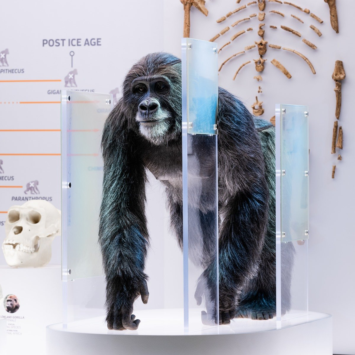 New Ape Exhibit
