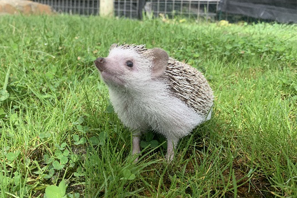 Eden Animal Experience Hedgehog