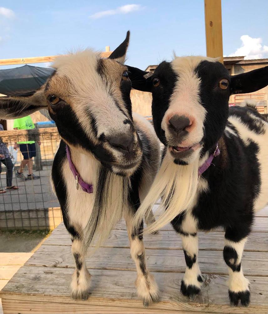 Eden Animal Experience Goats