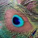 Peacock eyelet feather, Michael A. Belknap2009