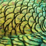Peacock mantle feathers, Michael A. Belknap2009