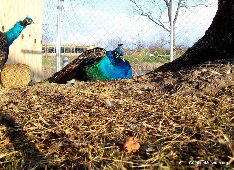 Peacocks, Michael A. Belknap2009