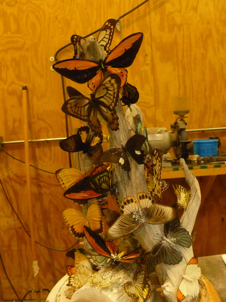 What Do Butterflies and Fossils Have in Common?   Creation ...