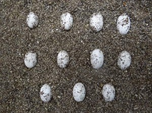 Eggs before hatching