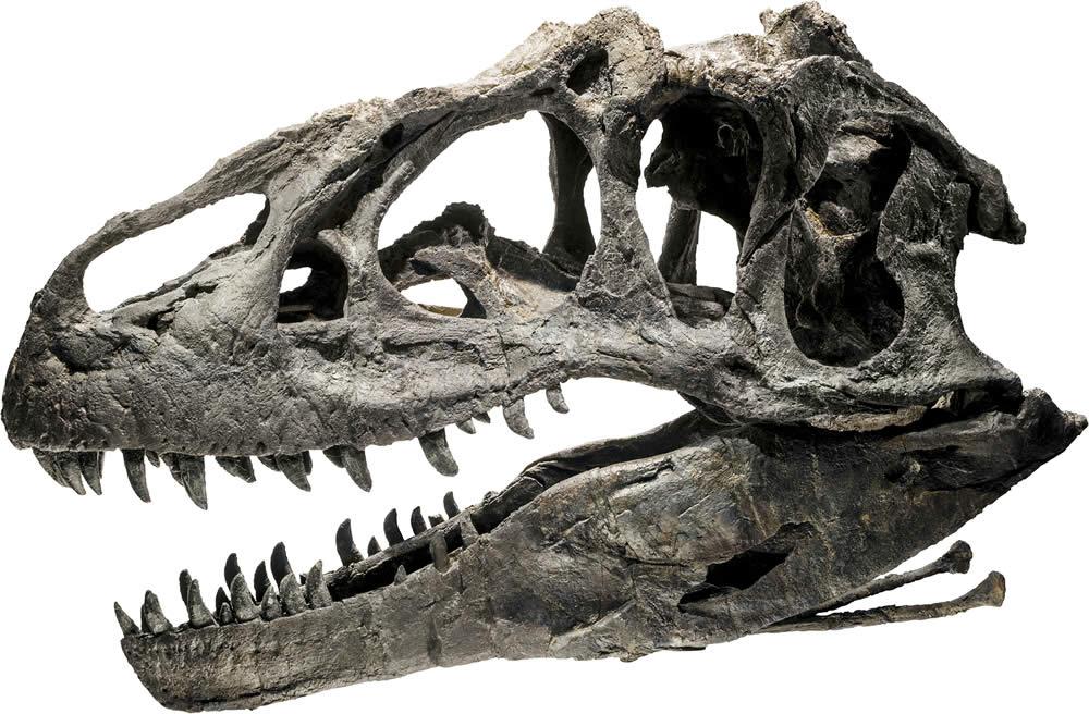 Allosaur skull