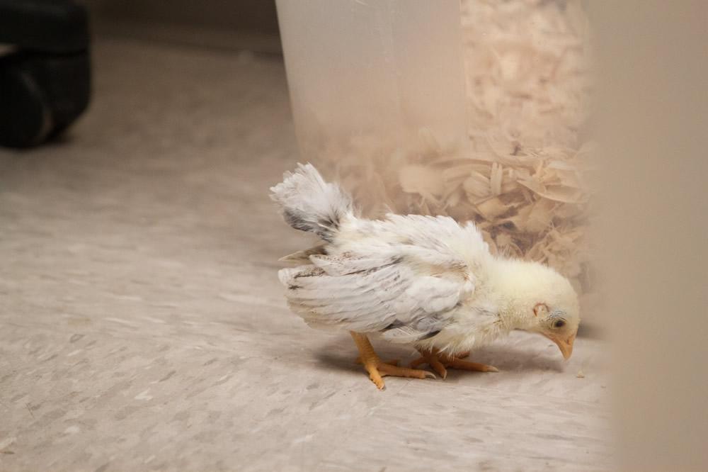 Malaysian Serama chick