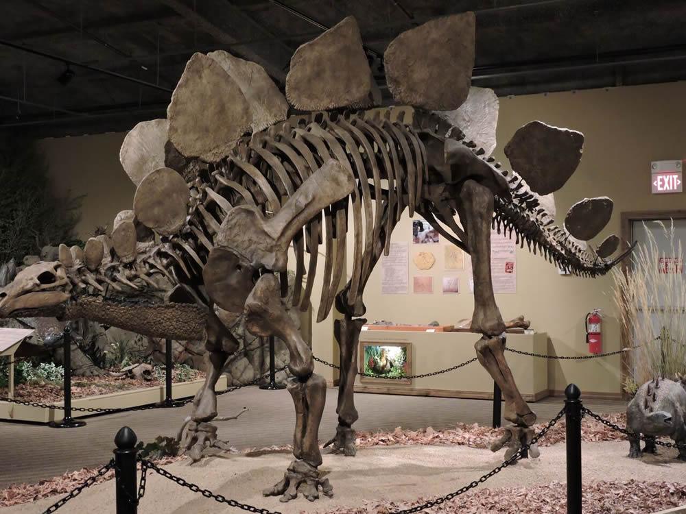 Fossil Dinosaur in Museum