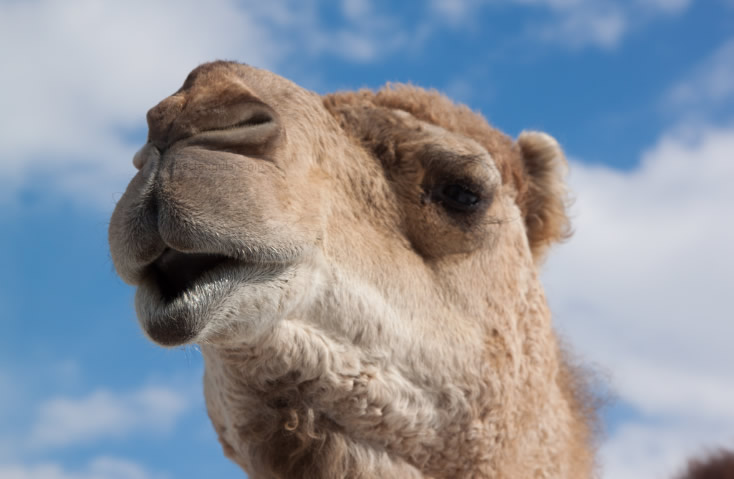 Camel in Petting Zoo
