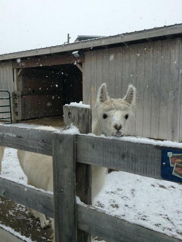 Alpaca in Snow