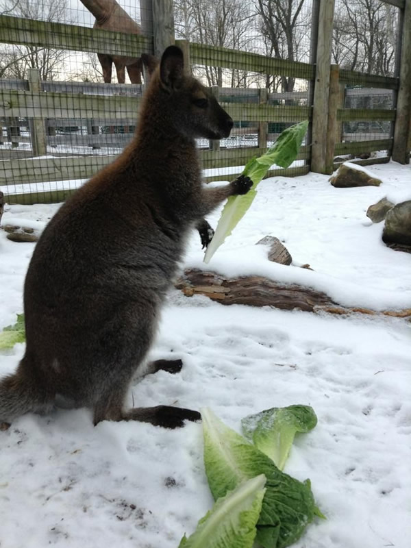 Wallaby Eating Lettuce