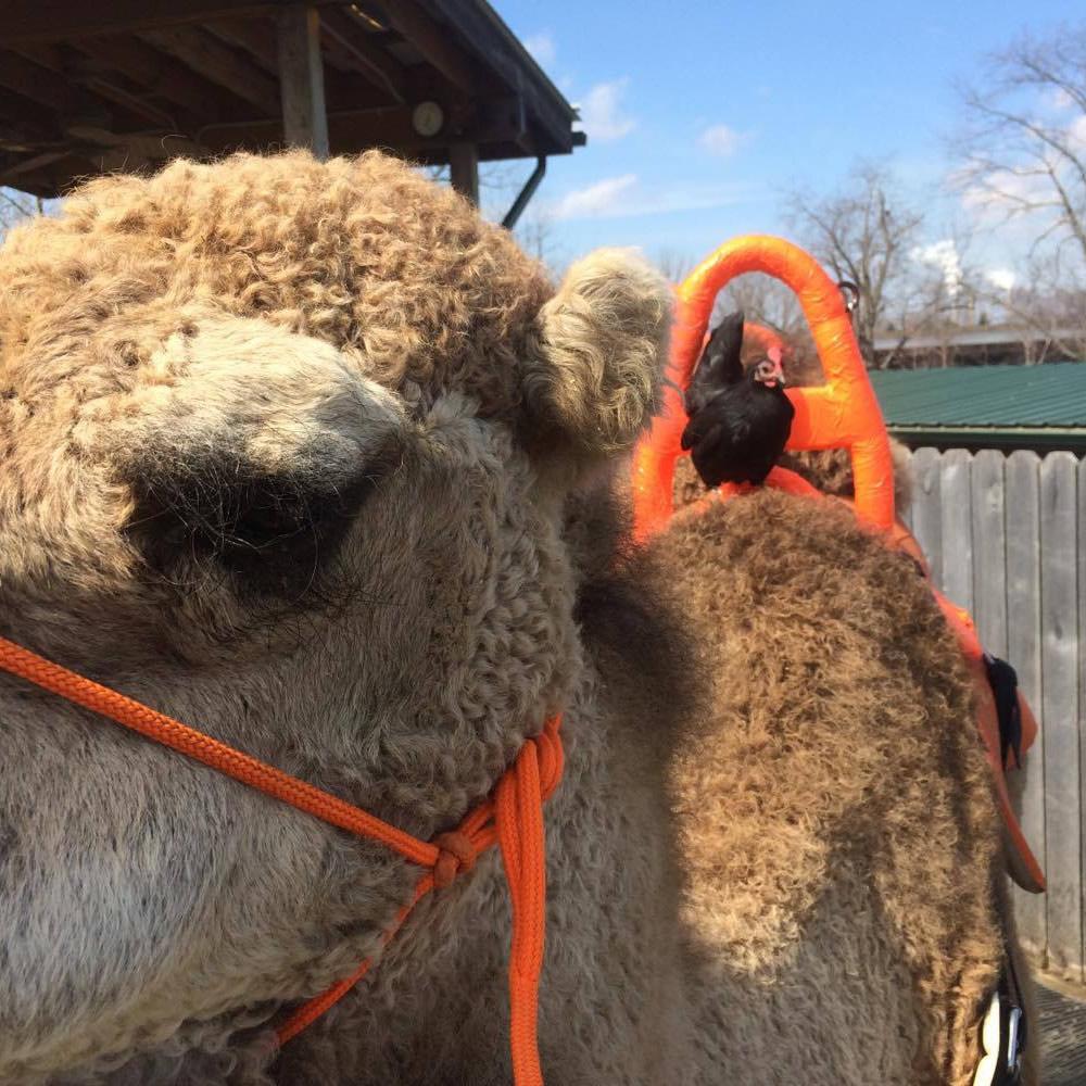 Cluck-Cluck atop Camel