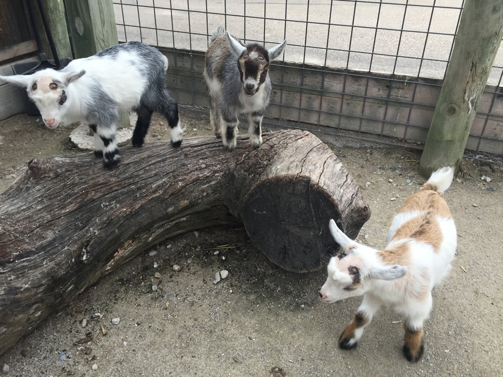 Goats on Log