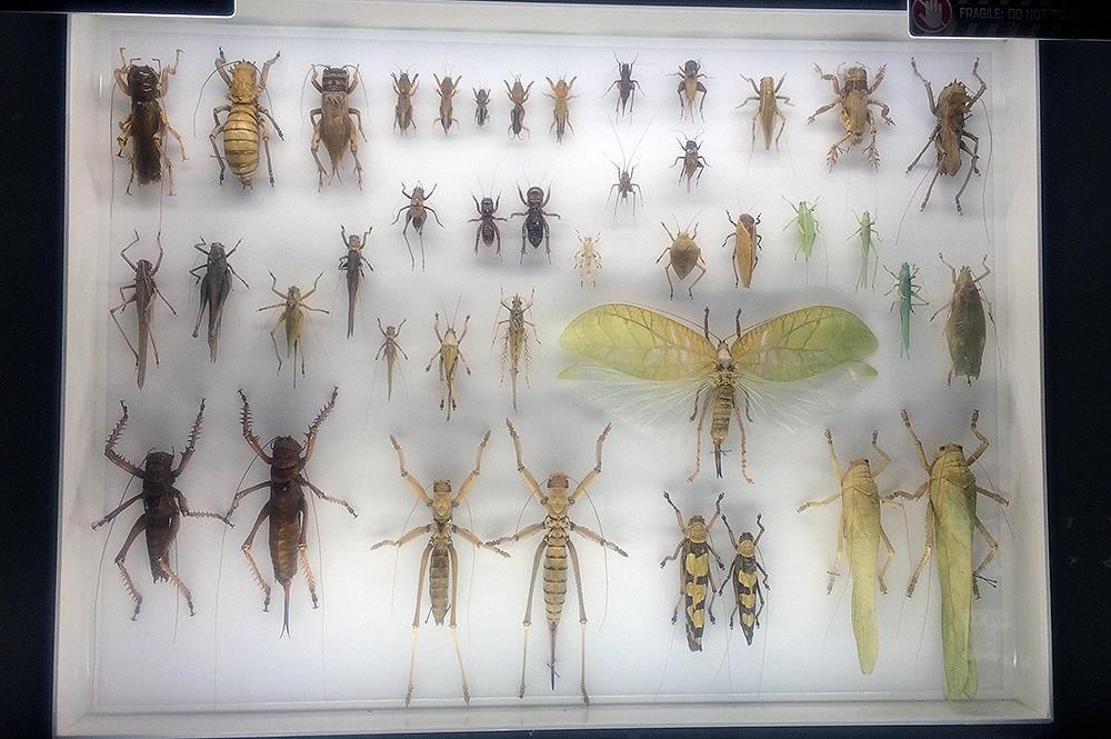 Cricket Katydid Case