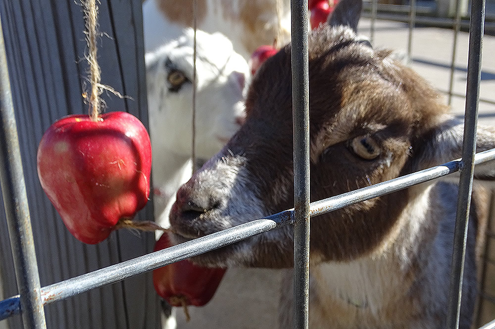 Apples with Goats