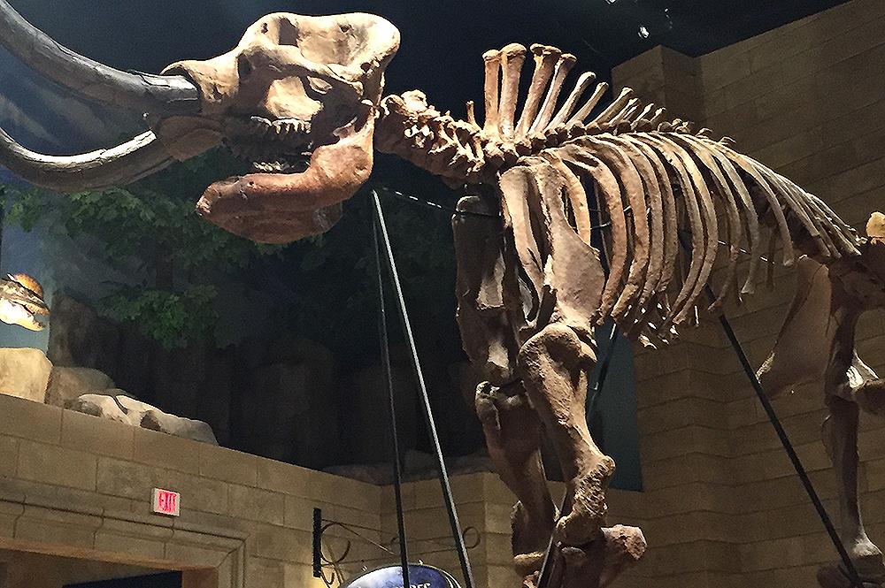 Mastodon Fossil