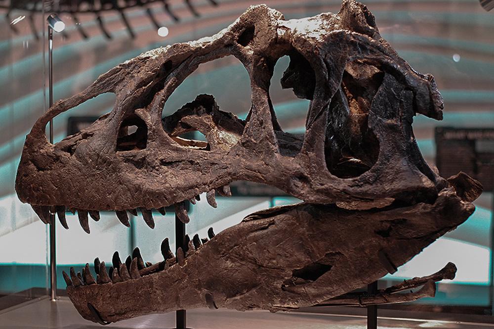 ALlosaurus Skull Dino