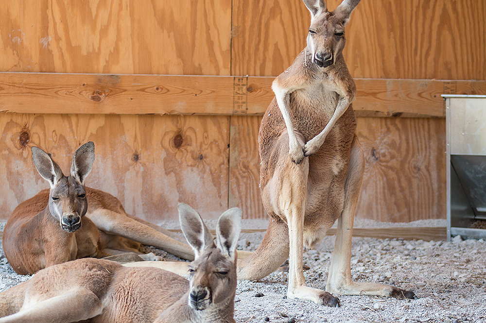 Kangaroos at the Ark Encounter