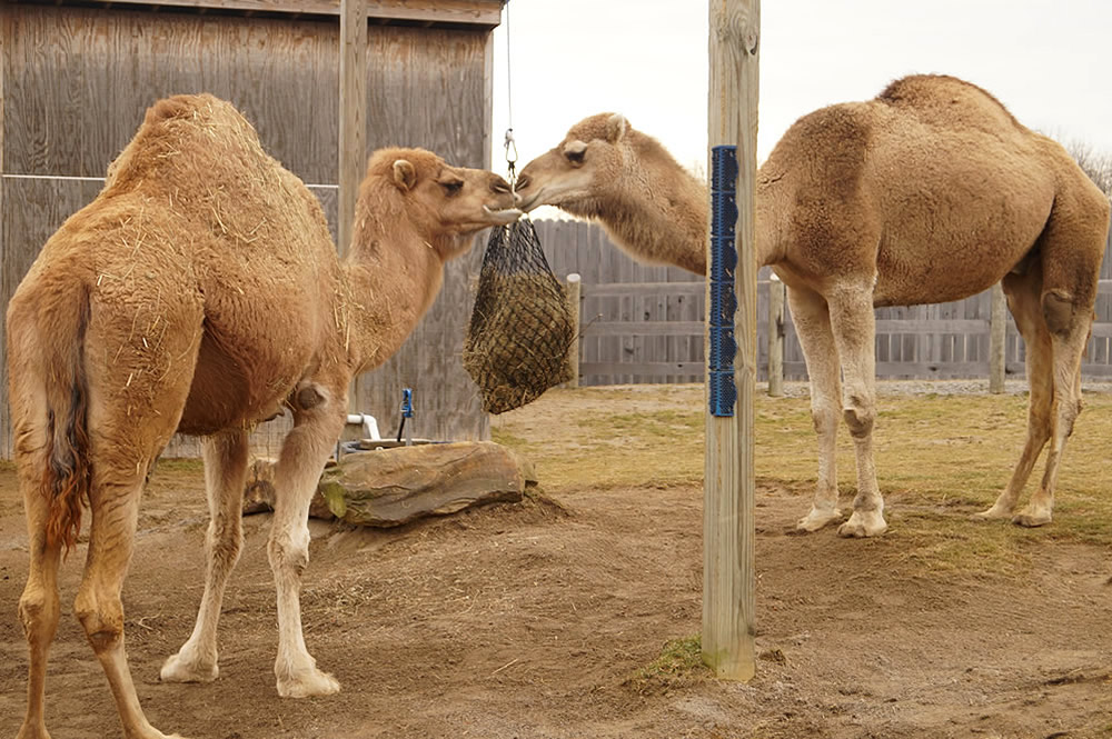 Camels with Hay