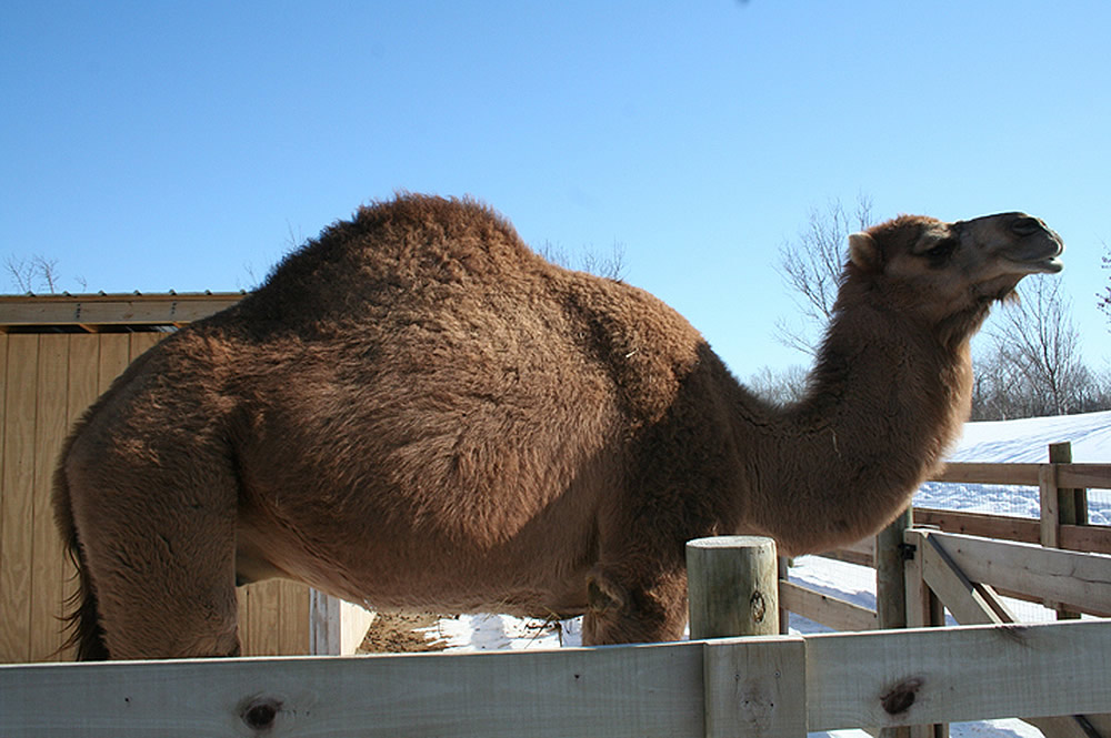Gomer Showing Hump
