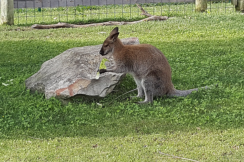 Wallaby at Creation Museum
