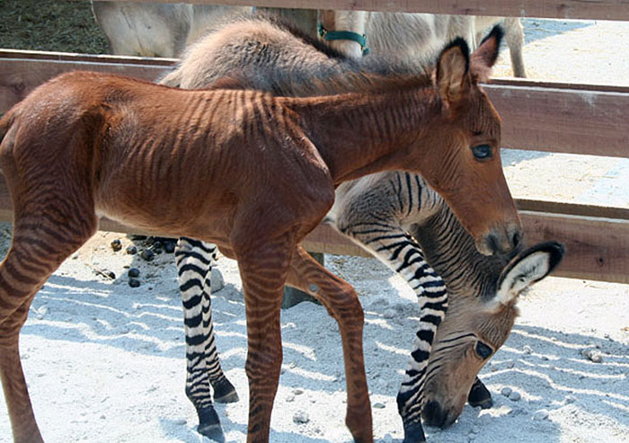 Zonkey and Zorse Arrive