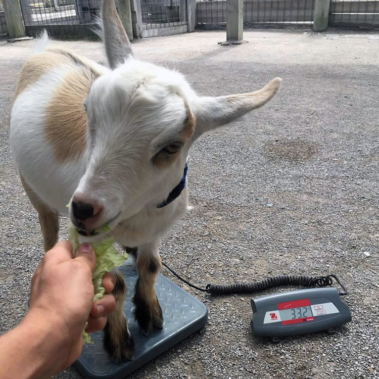 Weighing Goat