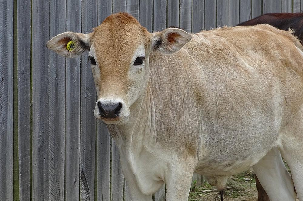 Mini Zebu Steer