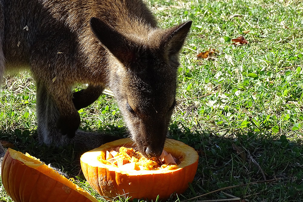 Wallaby Eating a Pumpkin