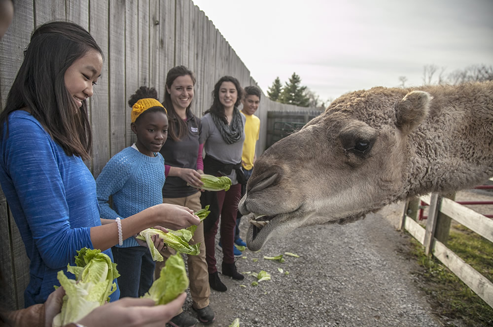 Students feeding camel