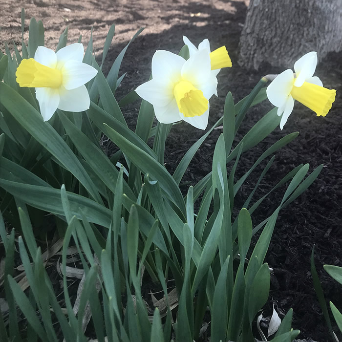 Daffodils at Creation Museum Botanical Gardens