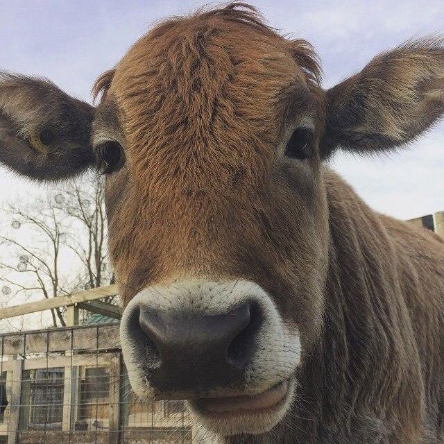 Zebu Steer