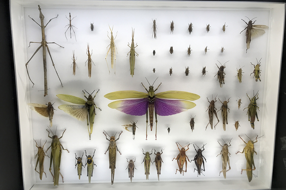 Crawley's Grasshopper Display