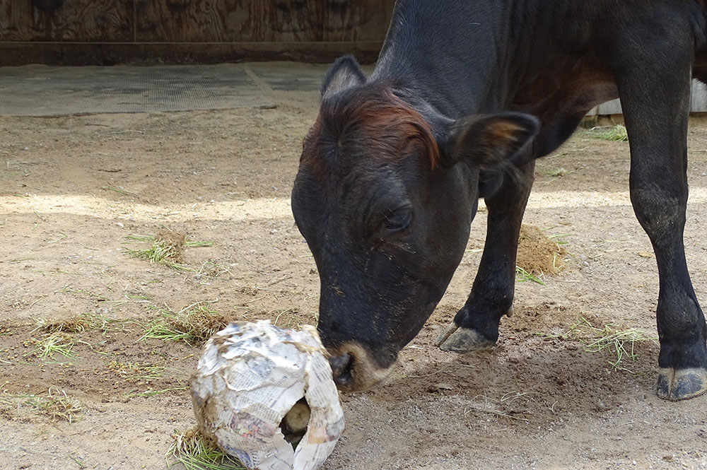Miniature Cow Playing with Paper Mache Toy
