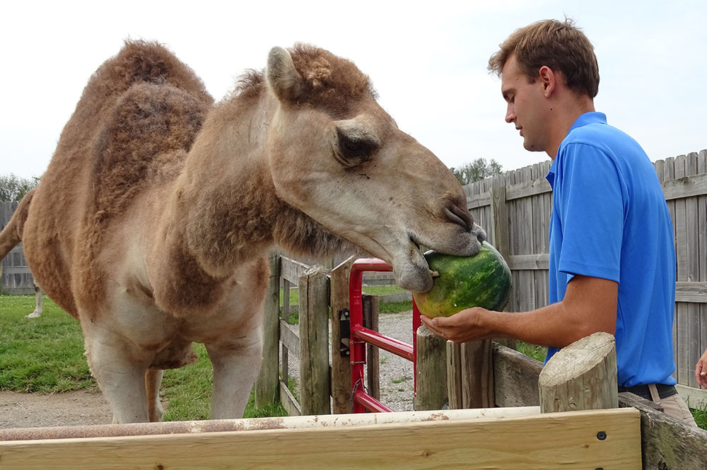 Trainer Feeding Camel a Watermelon