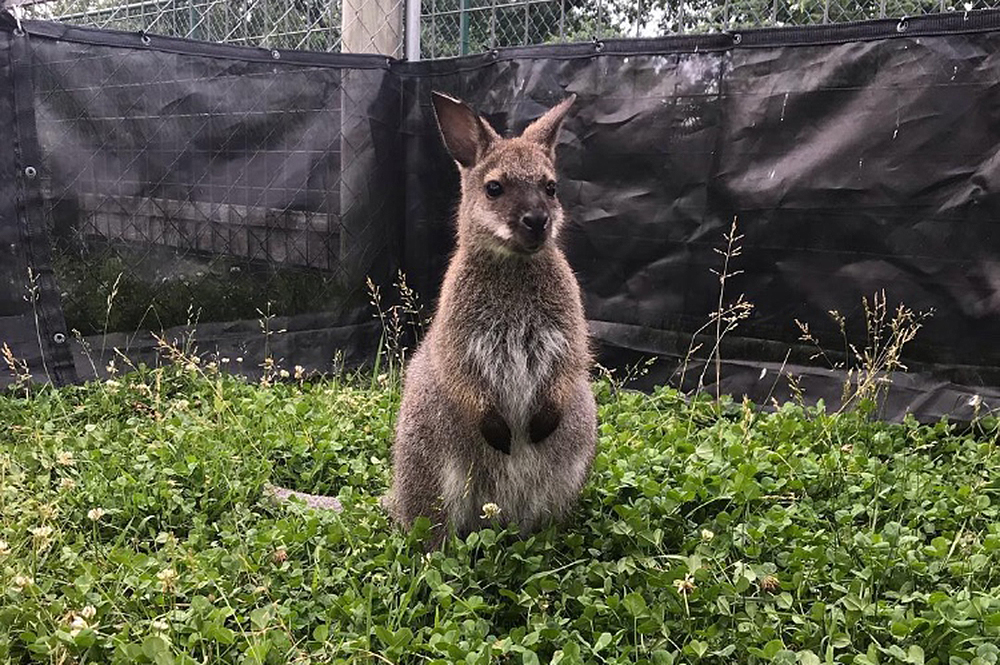 BamBam the Wallaby at the Eden Animal Experience