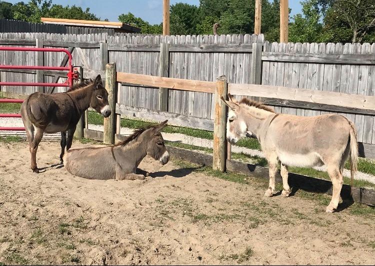 Athaliah and Vashti the Miniature Donkeys