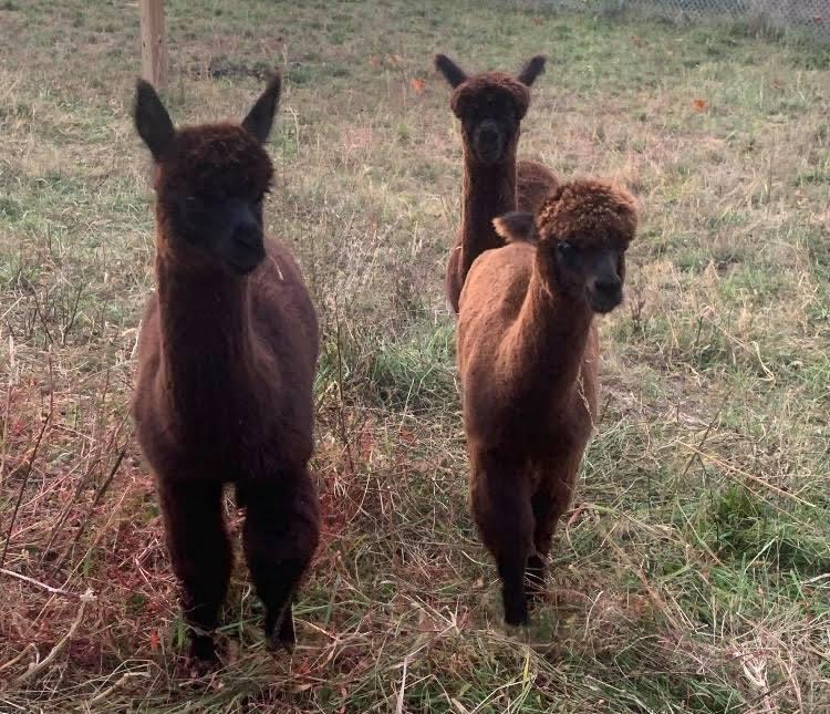 Bilbo, Samwise, and Frodo the Alpacas