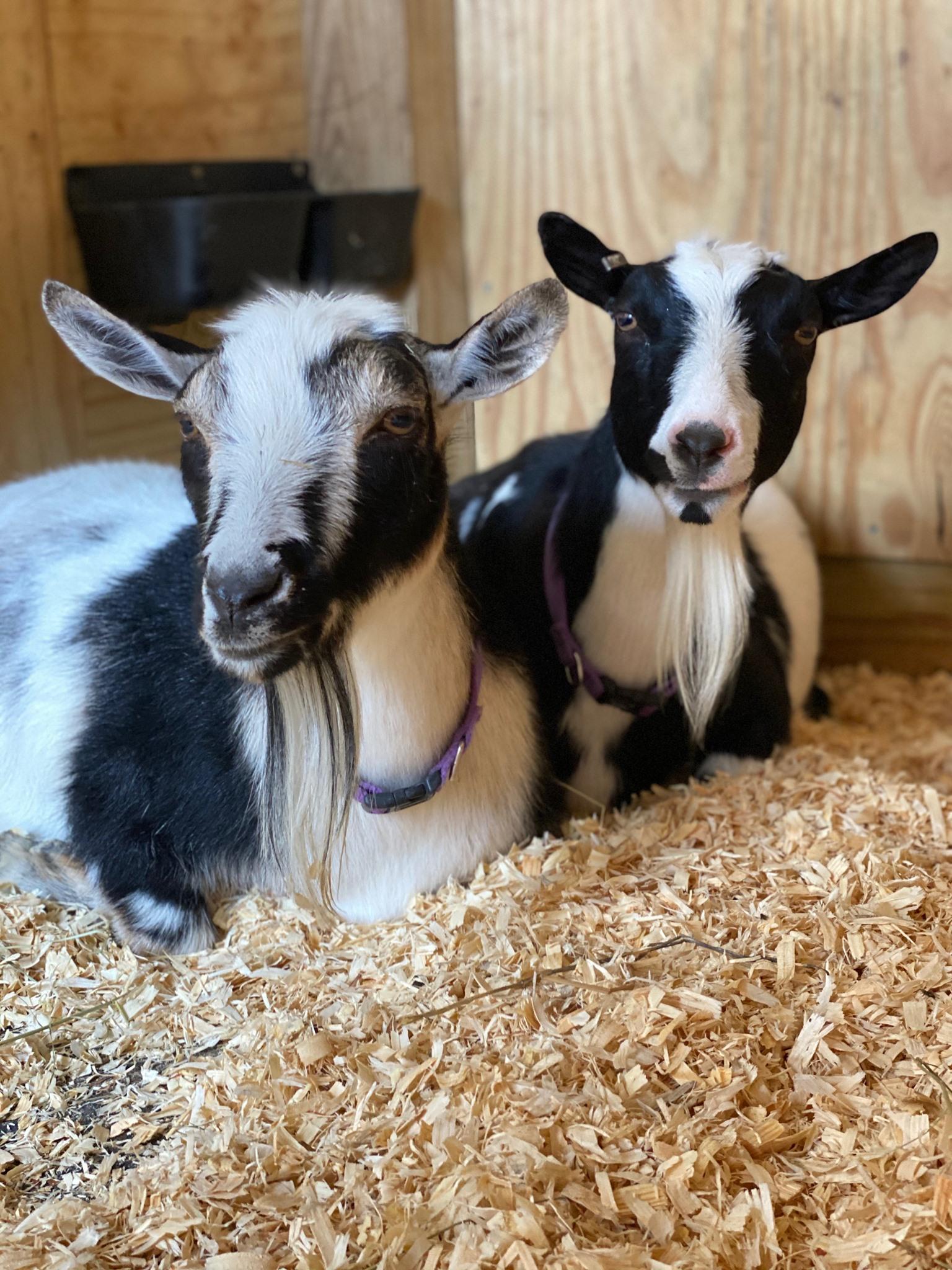 Kasl and Naphtali the Pygmy Goats