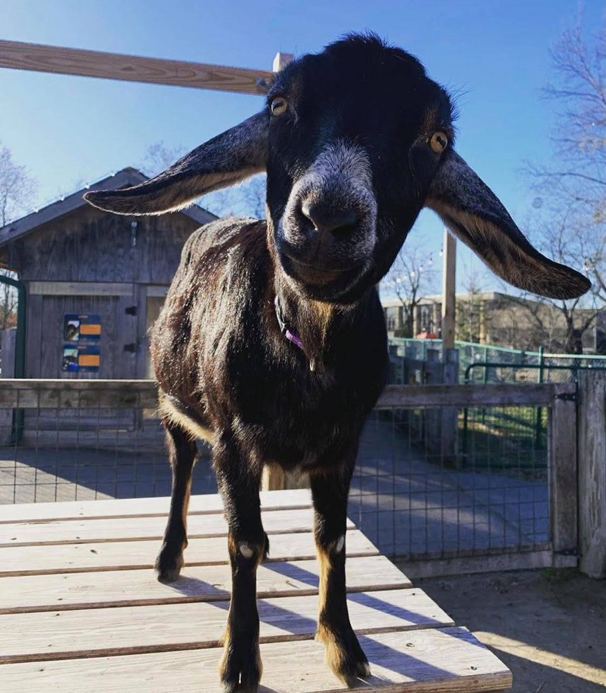 Lucy the Goat