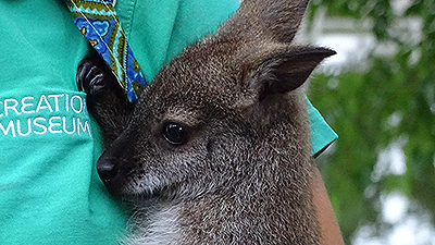 Introducing Boomer, the Baby Wallaby at the Creation Museum