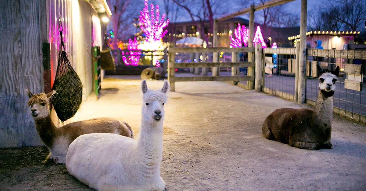 Visit the Eden Animal Experience With ChistmasTown Lights