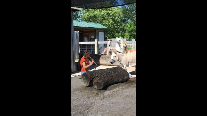 Musical Enrichment: Alpacas with Flute