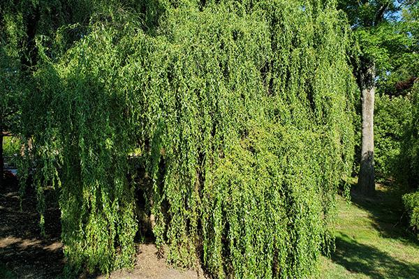 Scarlet Curls Corkscrew Willow