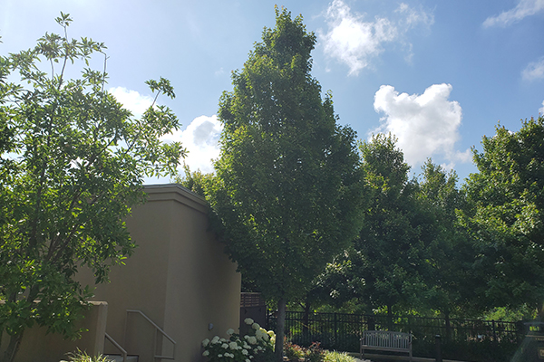 Columnar Norway Maple