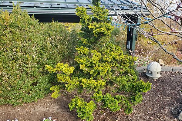 Dwarf Golden Hinoki Cypress