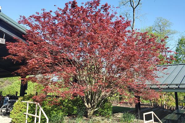 Moonfire Japanese Maple