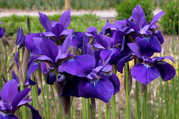 Caesar's Brother Siberian Iris