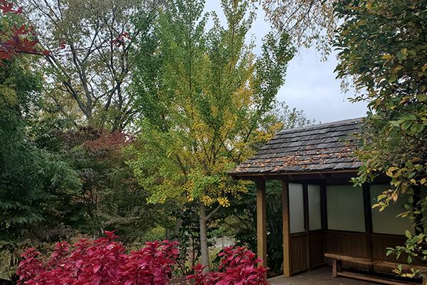 Maidenhair Ginkgo Tree