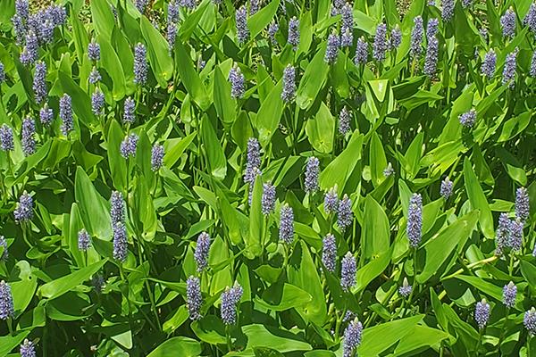 Purple Pickerel Weed