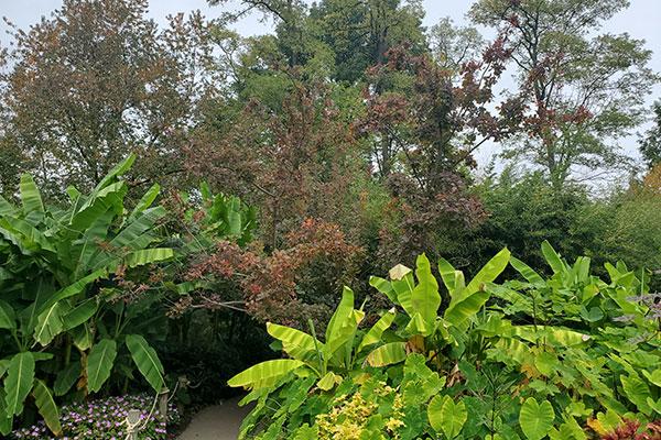 Grace Purple Smoketree
